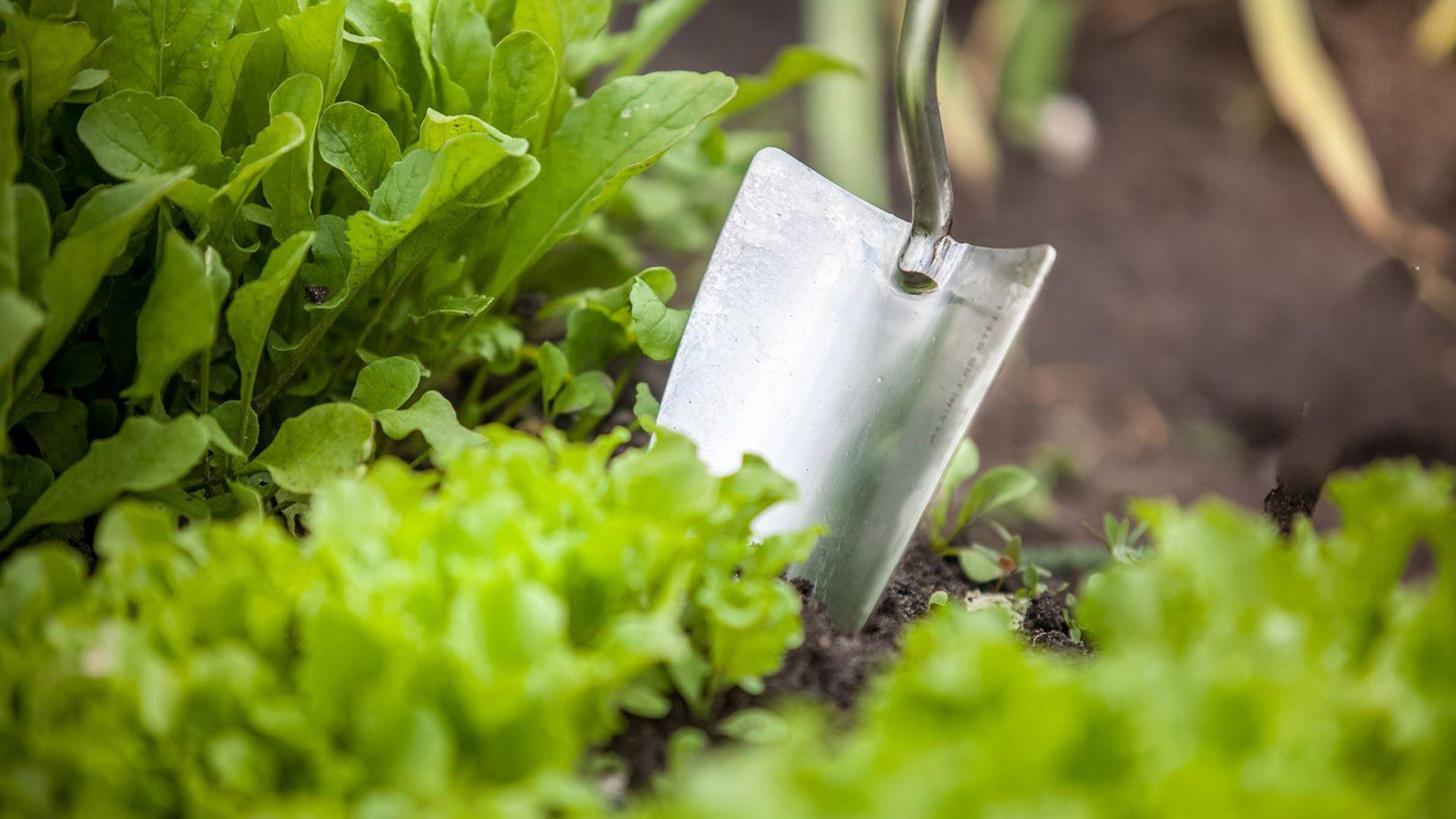 Schaufel sticht in Gemüsebeet Anpflanzen im September von Lidl Österreich